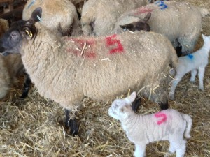 A sheep with newly born lambs