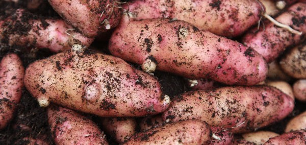 Speciality Potatoes