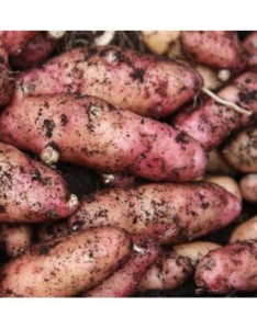 Homegrown Potatoes Anglesey